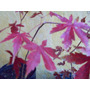 Arbol Plantin Acer Palmatum, Prebonsai, Vivero Arbol Hermano