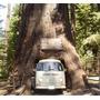 Sequoia Sempervirens, Árbol Mas Grande Del Mundo