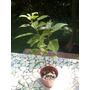 Plantin De Alcanfor (cimmamomum Camphora) Medicinal