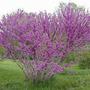 Cercis Chinensis - Árbol De Judea Arbustivo