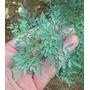 Planta Ruda Macho / Hembra X2