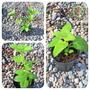 3 Variedades De Plantas De Menta