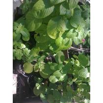 Plantas Aromáticas Laurel, Menta, Oregano