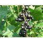 Grosella Negra O Casis Planta Adulta Dando Frutos