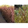 Arbusto Planta Cerco Vivo Especie A Eleccion