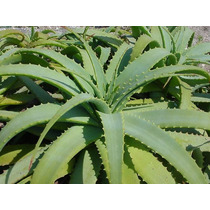 Planta Aloe Arborescens Aloe Vera Plantas De 60 Centimetros