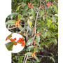 Congorosa Maytenus Ilicifolia Arbusto Medicinal Y Ornamental