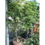 Acer Japonés O Acer Palmatum 1,50-1,70 M.: Arbusto