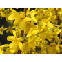 Cultivá Tu Arbusto Forsythia: Se Llena De Flores Amarillas!!