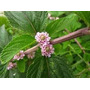 Arbusto Nativo Aromático Salvia Lippia Alba