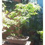 Arbol Bonsai Acer Palmatum - Arce O Maple