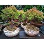 Árboles Bonsai Coníferas Y Otros