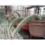 Cactus Cola De Mono (15cm)
