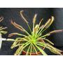 Plantas Carnivoras - Droseras + Guia De Cuidados