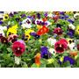 Plantin De Pensamiento X500 Flores De Invierno