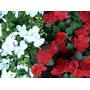 Alegria Petunias Clavelina Conejitos Alisiun X 28 Unidades