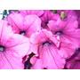 Petunias 20 U Primavera Flores Plantines Mayorista Vivero