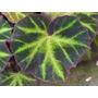 Exóticas/ Raras/ Irresistibles: Begonia Brasilera!!! (av,l?)