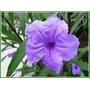 Ruellia Simplex Purple Showers / Herbácea De Flor Lila