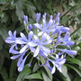 Agapanthus Flor Azul Vivero Iris