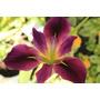 Iris Flor Violeta En 3 L