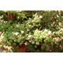 Sedum Pachyphyllum Conviviendo Con Otra Variedad En Flor