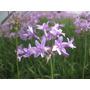 Tulbaghia Violacea. Envase 12m. Flor Blanca.lila