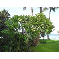 Jazmín Magno - Plumeria Rubra - Muy Perfumada
