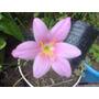 Planta De Bulbo Flor Rosa