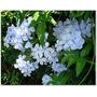 Jazmin Del Cielo Blanco O Celeste:planta Trepadora 1,50-2 M.