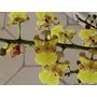 Orquídea Oncidium Cebolleta Grande Orquídeas Exótica