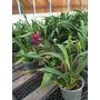 Orquideas Colmanara Wildcat En Flor