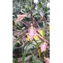 Orquideas Miltassia Shelob Tolkien En Flor