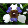 Iris Neomaricas Orquidea Salvaje Lirios Azules