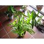 Orquidea Epidemdrun Roja De Enorme Desarrollo, Planta Madre