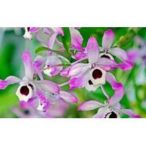 Orquideas Brasileras Envio A Todo El Pais