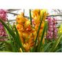 Cymbidium (orquidea 1 Vara) Envíos