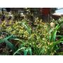 Orquideas Oncidium Sphacelatum.