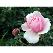 Rosa De Rio Negro Varios Colores