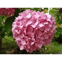 Hortensia Rosada - Envase De 4lts