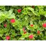 Planta De Baby Sun Rose, Aptenia Cordifolia, Siempreviva!!