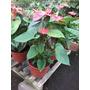 Planta De Interior Anthurium M15