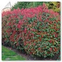 Photinia De 2 Mt