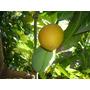 Plantas De Mangos , Frutales Exoticos
