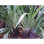 Neomarica Gracilis (iris Caminante) - Maceta De Cultivo N°12