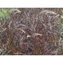 Penisetum Rubra - Envase 4 Lts. - Envios