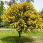 Acacia Longifolia / Trinervis (mimosa Dorada) De 2 M