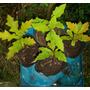 Plantines De Roble Americano