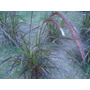 Plantas Pennisetum Rubra X6 Unidades, 3litros Ezeiza-envíos