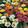 Gazaña X 15 Unidades Flor Todo El Año Oferta